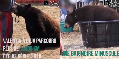 Le montreur d'ours Frédéric Chesneau et son ours Valentin en Belgique en septembre !