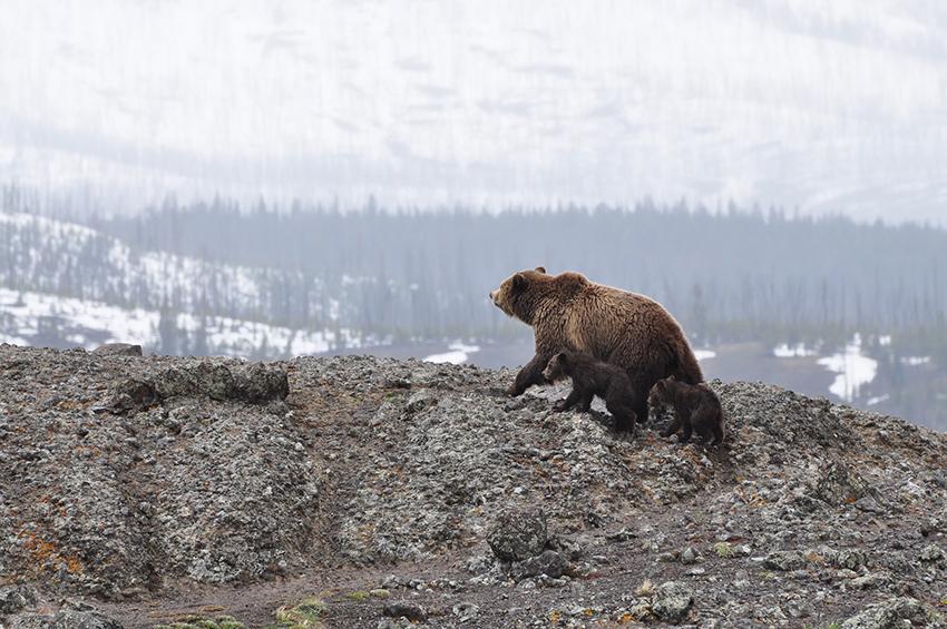 ourse avec deux petits au sommet d'une montagne