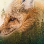 Recours commun contre le massacre de 850 renards en Seine-Maritime