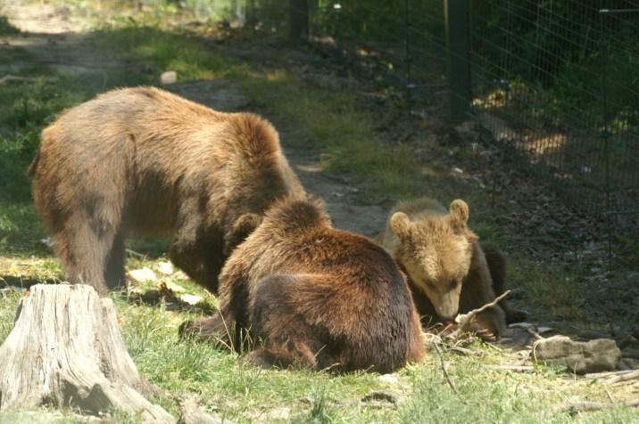 Ours réserve de Zarnesti, Roumanie