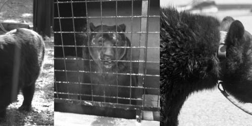 Liberté pour les ours : demain, une France sans montreur d'ours ?