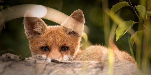 🦊 Victoire pour les renards dans la Somme, mais une décision absurde à l'encontre de notre association.