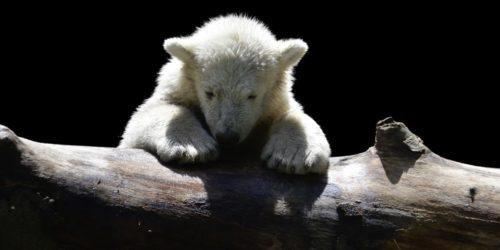 Pétition : NON, la naissance d'oursons polaires en captivité, ce n'est pas magique !