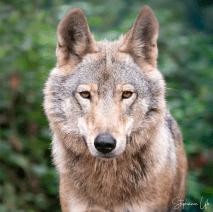 Loup au Bärenpark Schwarzwald
