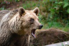 L'ourse Franca (ex Glasha)
