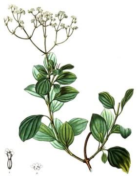 VALERIANA crassifolia - Observada por Humboldt en Pasto (Quelle: lablaa.org)