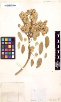 Gnica retusa (Quelle: Herbarium Berolinense)