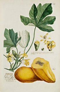 Papaya aus der Universitätsbibliothek (Quelle: ub.uni-frankfurt.de)