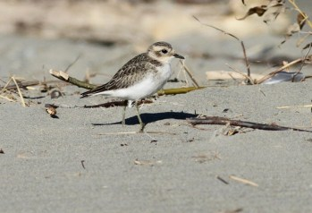 Double-banded Plover Waikuku Beach, NZ ©Tom Tarrant March 2012