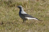 Ground Cuckoo-shrike