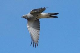 Ground Cuckoo-shrike