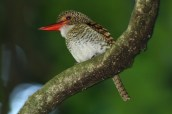 Banded Kingfisher Poring Hot Springs, Sabah ©Tom Tarrant June 2011