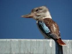 Blue-winged Kookaburra, Lester Bridge, SE Qld ©Tom Tarrant August 2002