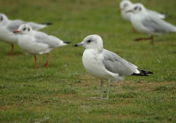 common_gull_0109_800