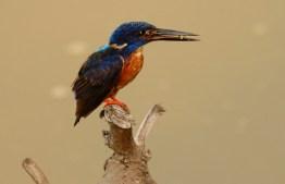 Shining-blue Kingfisher QE NP, Uganda ©Tom Tarrant December 2005