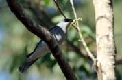 White-bellied Cuckoo-shrike