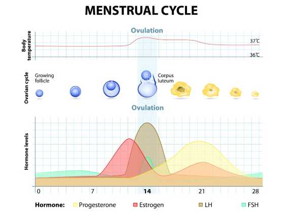 The menstrual phase days  most women are aware of begins on day woman  period and lasts for also ovulation phases cycle rh avogel