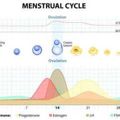 Menstrual Cycle Diagram With Ovulation Cricket Life And The Phases Of Phase Days 1 5 Most Women Are Aware Begins On Day Woman S Period Lasts For