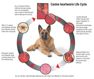 Heartworm-lifecycle