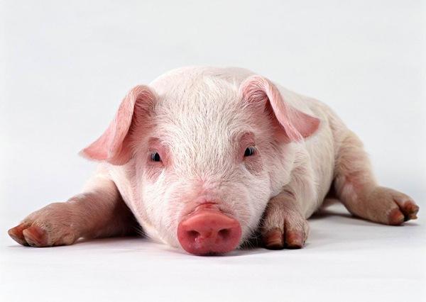 porc truie marine
