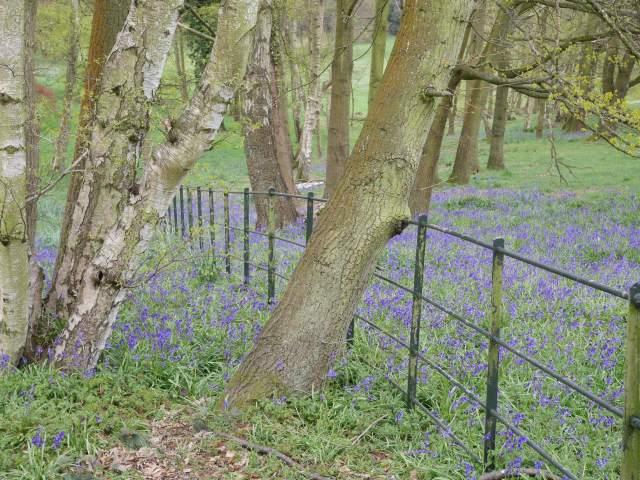 Bluebells in Kew gardens