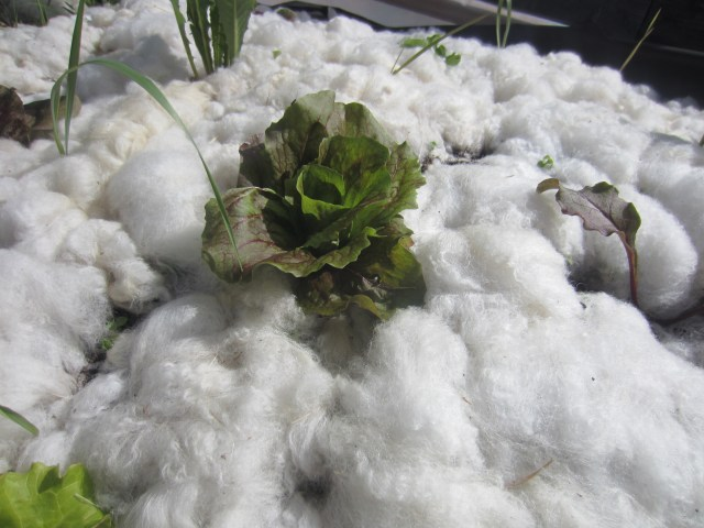 Lettuce protected by wool!?
