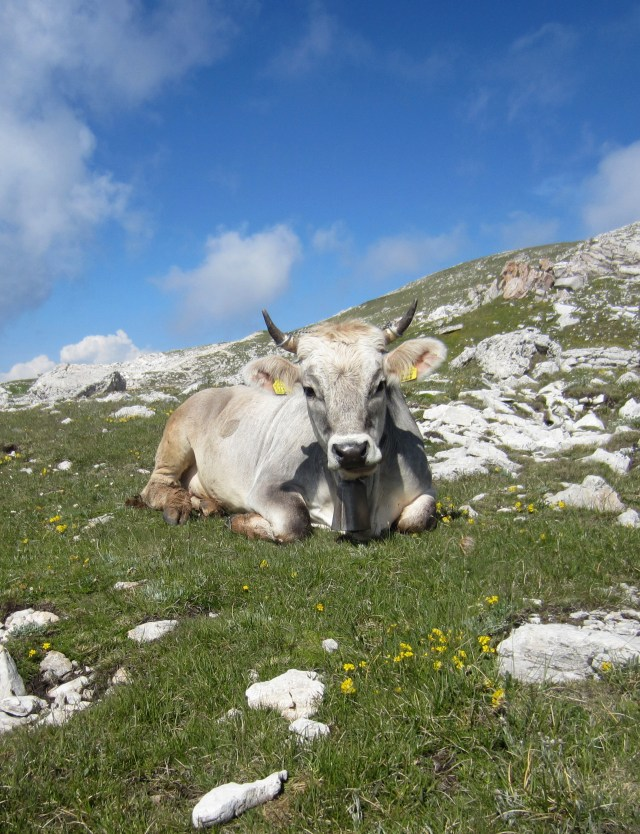 Near the top of a mountain, we met cows