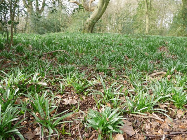 This will be bluebells soon!