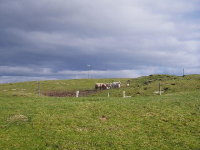 Hello cows