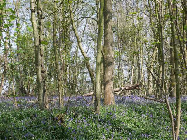 First bluebells of the day - possibly Row Dow wood