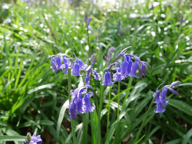 I love the way bluebells droop