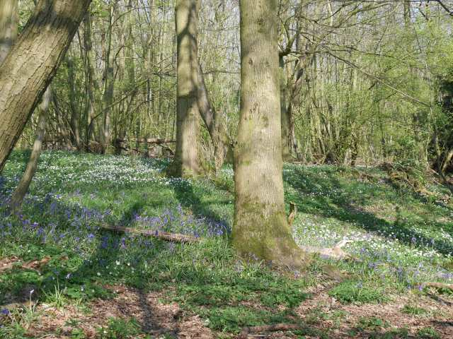 Trosley Country Park bluebells