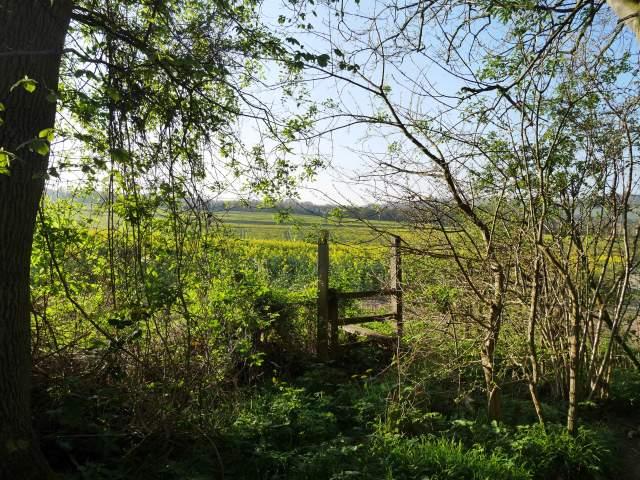 Emerge into rapeseed fields