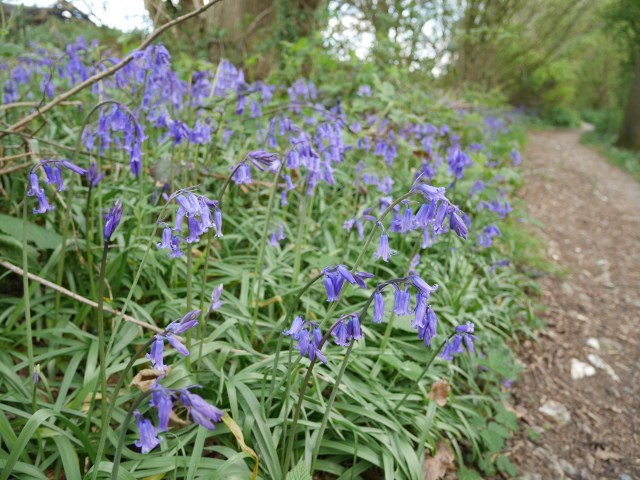 Bluebells again!