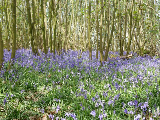 Boxley Wood bluebells