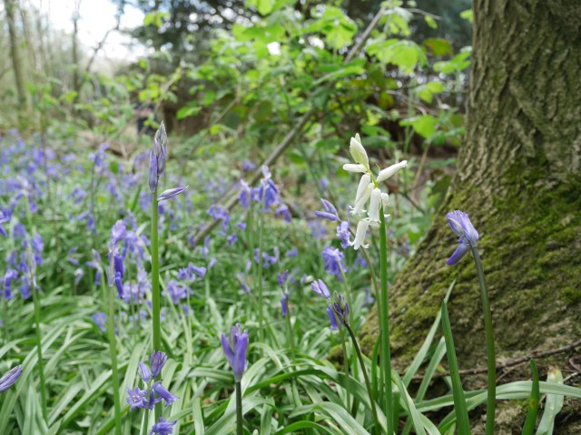 One whitebell in Boxley Wood