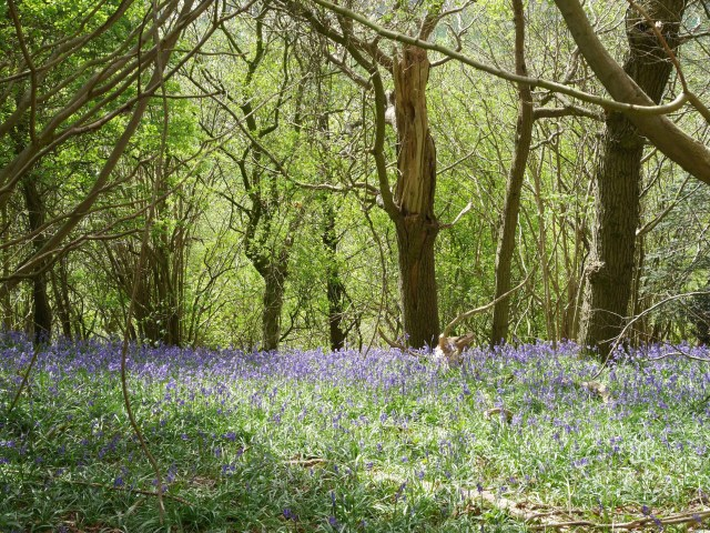 Looking down the hill at bluebells
