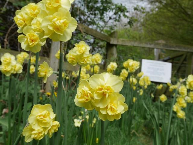 Late flowering daffodils