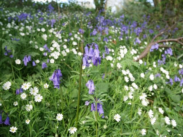 Bluebells near Lenham