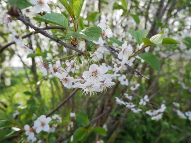 Sakura in Kent