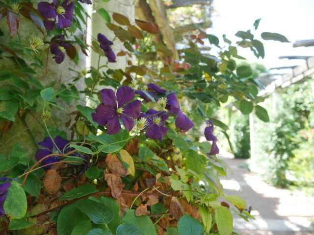 Possibly Clematis (again, my mum will know!)