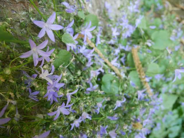 I think these are Campanula (my mum will probably correct me later!)