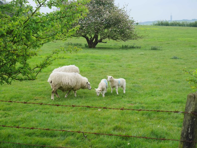 More lambs and sheep