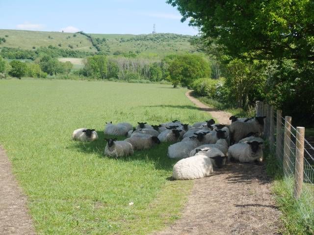 Sheep squeezing into a small area of shade