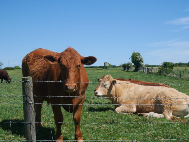 Unimpressed cows