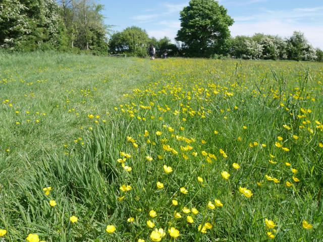 Buttercups everywhere