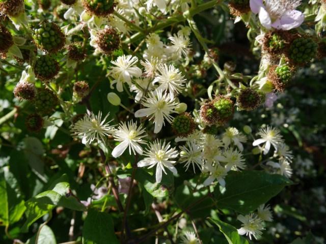 Flowers and blackberries