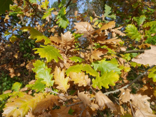 Oak leaves