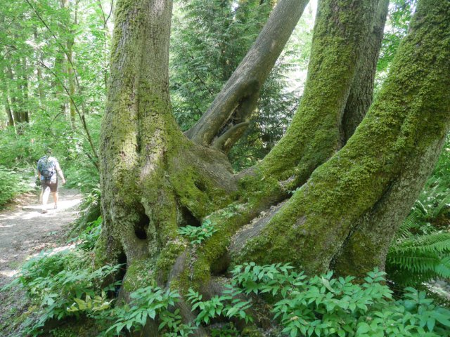 Amazing trees in Lynn Creek