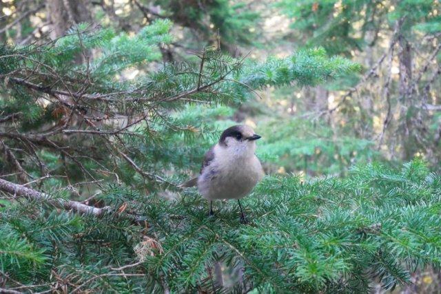 Joffre Lakes bird dude